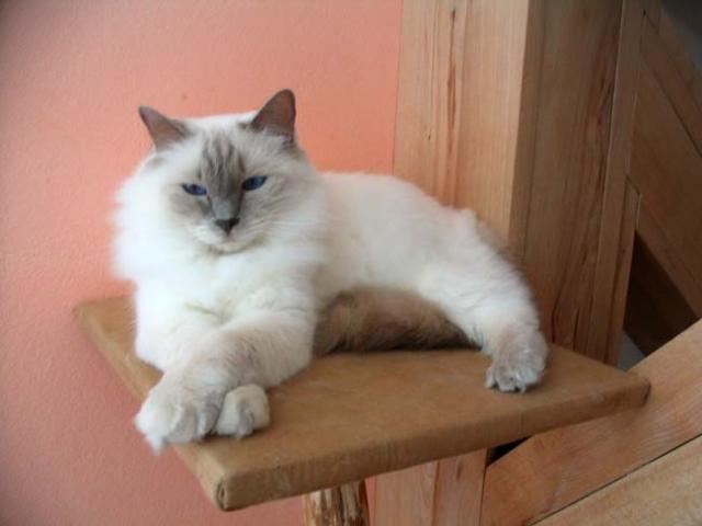 Pictures Of Ragdoll Cat Colors