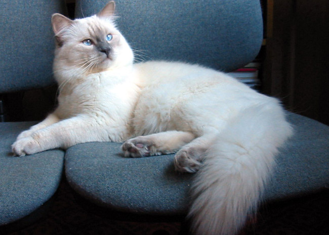 LILAC (FROST)   RAG C (lilac Colorpoint), RAG C 04 (lilac Mitted), RAG C 03  (lilac Bicolor) Body White. Points: Frosty Grey With Pinkish Tinge. Eye  Color: ...